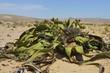 canvas print picture - weibliche Welwitschia mirabilis