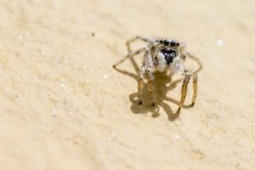 Portrait of a Zebra Spider (Salticus scenicus)