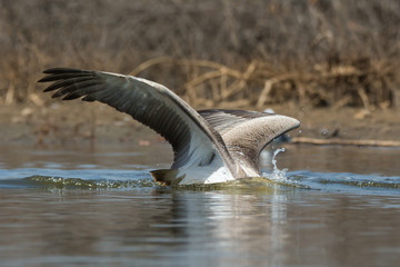 Pink-backed Pelican with its head under water diving for fish