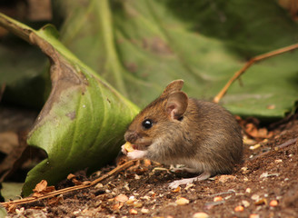 Cute wood mouse baby