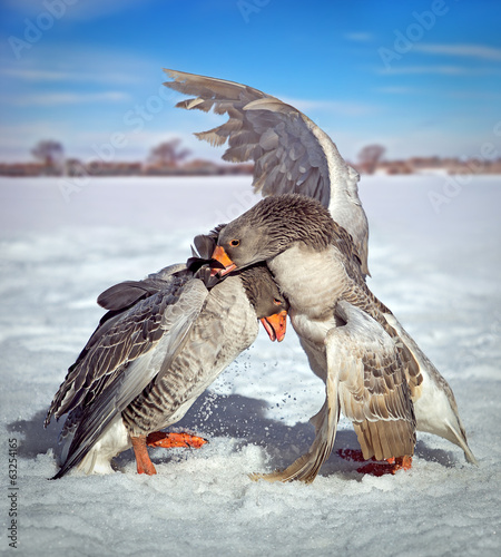 Two fighting goose nature