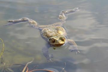 Toad Bufo Bufo