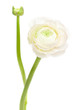 white  ranunculus, persian buttercup