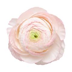 pale pink ranunculus, persian buttercup