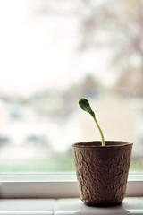 Seedling in window virticle
