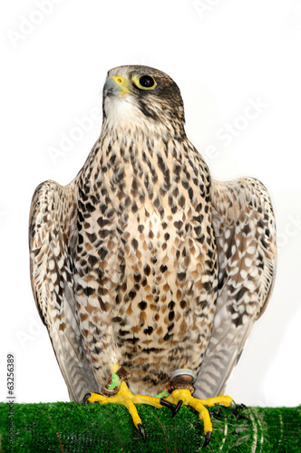 A Peregrine Falcon poses for the camera