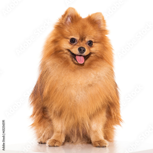 canvas print picture Cute spitz
