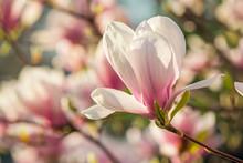 fleurs de magnolia sur un fond blury