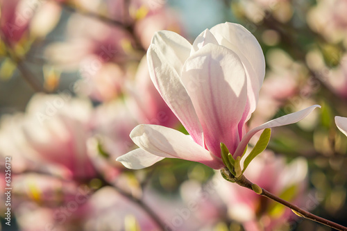 Fotobehang Magnolia magnolia flowers on a blury background