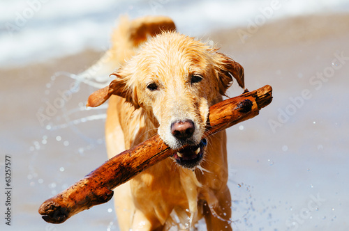 Happy Young Golden Retriever