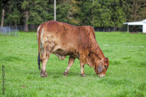 Brahman Cow Grazing on Grass