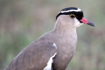 Crowned Plover Bird