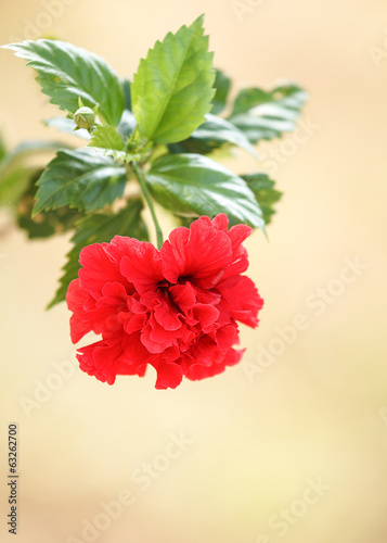 Red  hibiscus flower.