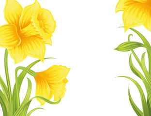 Spring daffodils on the white background.