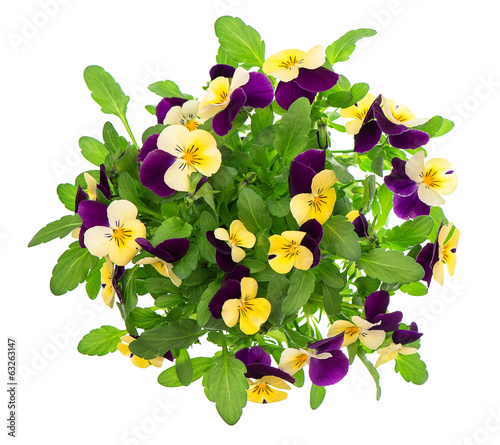 Canvas Pansies pansy bouquet. violet and yellow spring flowers