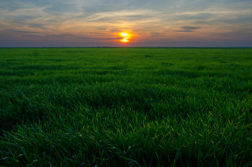 Green wheat fields at sunrise
