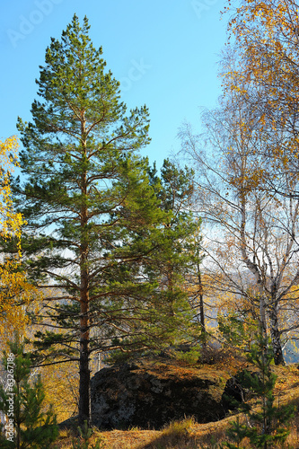 Green larch against autumn forest in mountains