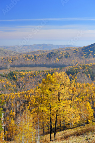 View from mountaintop on golden larchs and valley