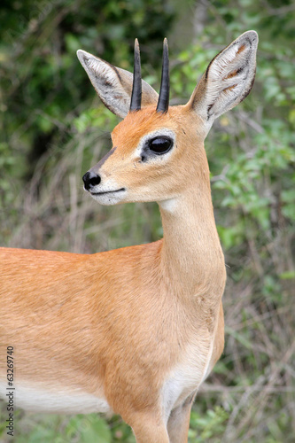 red steenbok