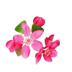 Red apple blossom with drops of water, isolated on white