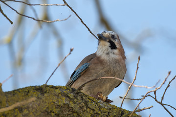 Nutcracker Jay Bird portrait