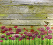 Pink clover on the wooden planks