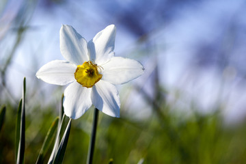 Single white flower narcissus, blur sky background