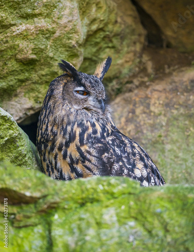 Bubo bubo - horned owl close up