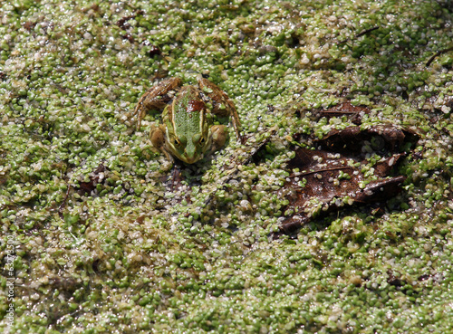 great frog camouflaged amidst the pond
