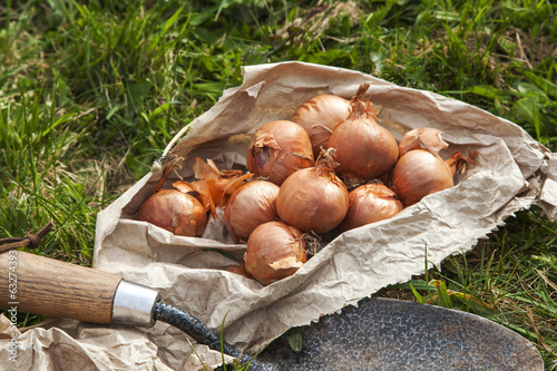 Bag of Shallot Bulbs Ready For Planting.