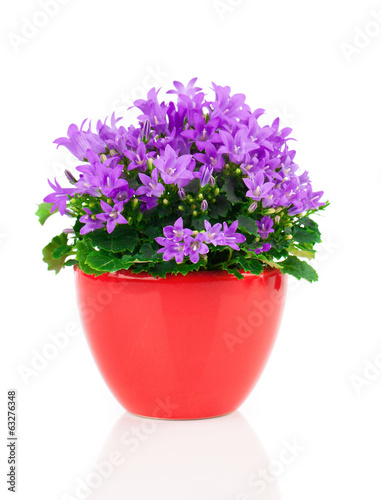 blue campanula flowers in red pot, on white background