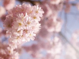 Vivid pink cherry blossom in the spring