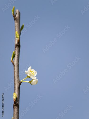White blossom in the spring with small green buds