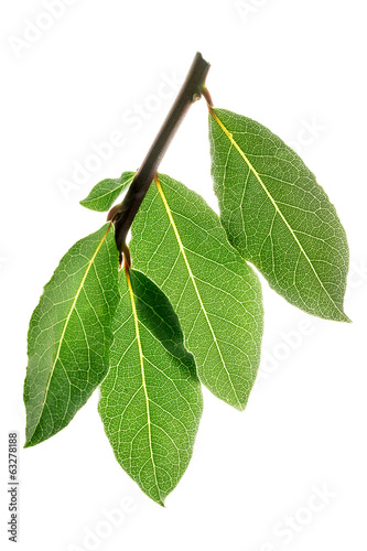 Fresh bay leaves on a branch