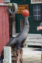 California Sea Lion Show - Zalophus californianus
