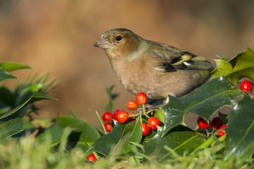 Pinson des arbres (Fringilla coelebs - Common Chaffinch)  sur un