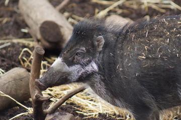 Visayan Warty Pig - Sus cebifrons