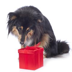 Hund schnuppert an rotem Geschenk