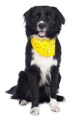 Australian Shepherd Mix mit gelbem Halstuch