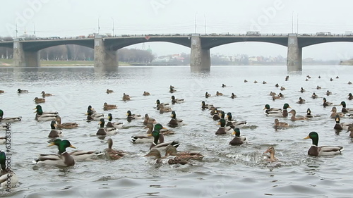 flock of wild ducks on the river