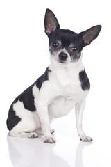 Kurzhaar Chihuahua auf weißem Hintergrund