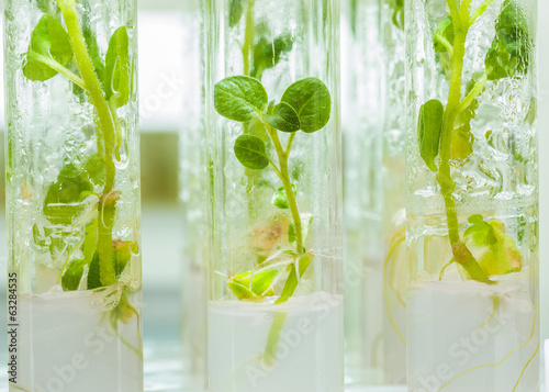 macroshot view on plants of potato in lab tubes with nutrition m