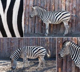zebra  posing in nature