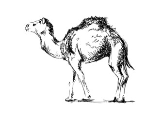 Hand drawing a camel. Vector illustration