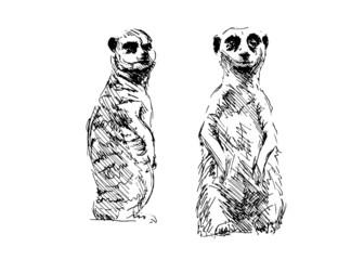 Hand drawing meerkats. Vector illustration
