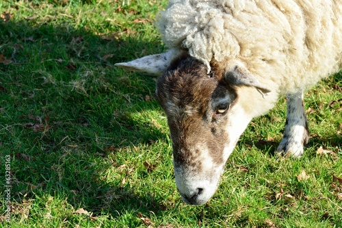 Head of a sheep feeding on grass