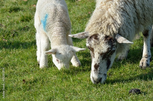 Ewe and lamb feeding