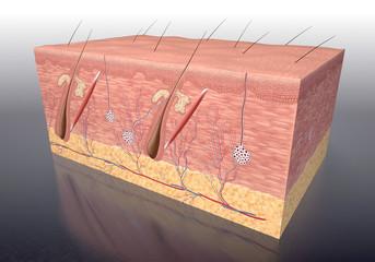 Aufbau der menschlichen Haut