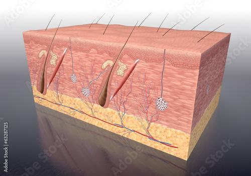 Leinwandbild Motiv Aufbau der menschlichen Haut