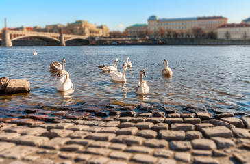 Swans on the Vltava River, Prague, Shallow depth of field